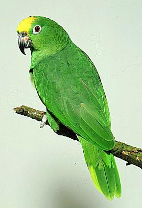 Виды попугаев: амазоны