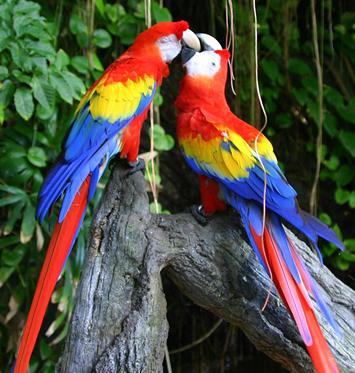 Виды попугаев: Ара