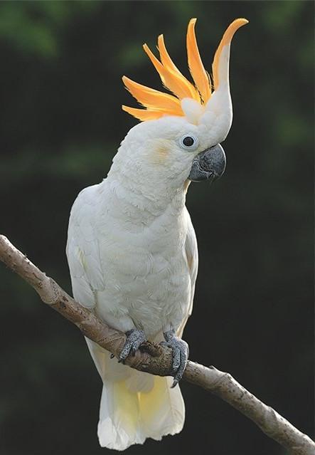 Виды попугаев: какаду
