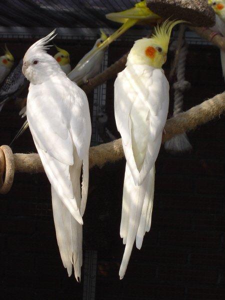 Виды попугаев: кореллы