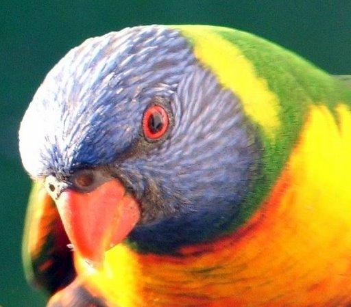Виды попугаев: лорикеты