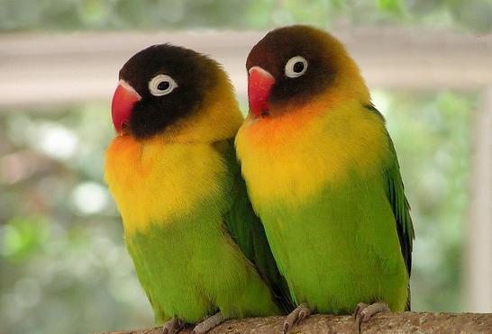 Виды попугаев: неразлучники