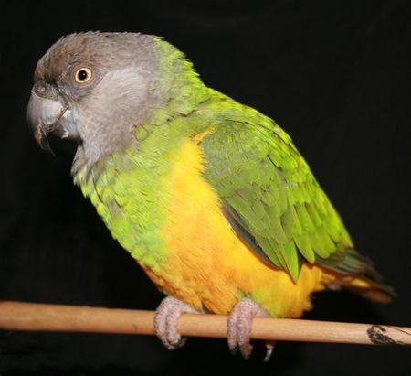 Виды попугаев: сенегальский попугай